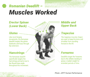 Muscles used in the Romanian Deadlift or RDL