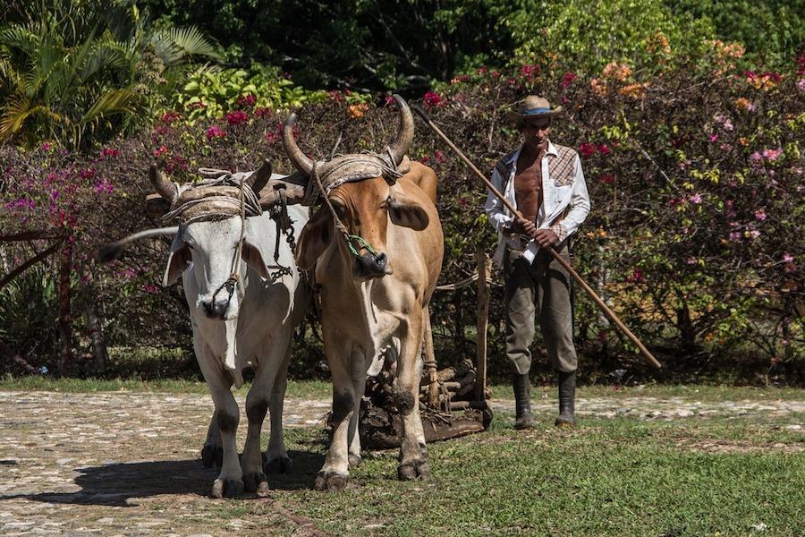 ox livestock
