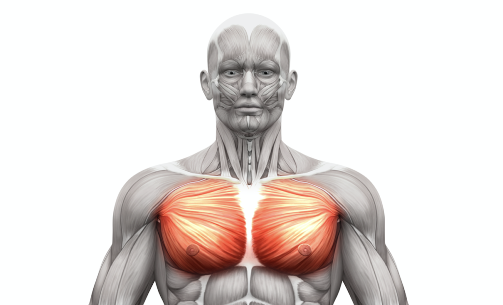 Image result for chest muscles