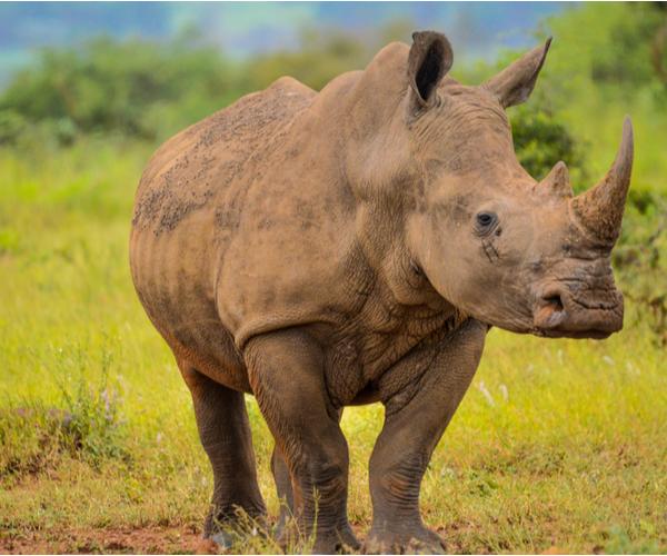 Rhino Muscle Fiber