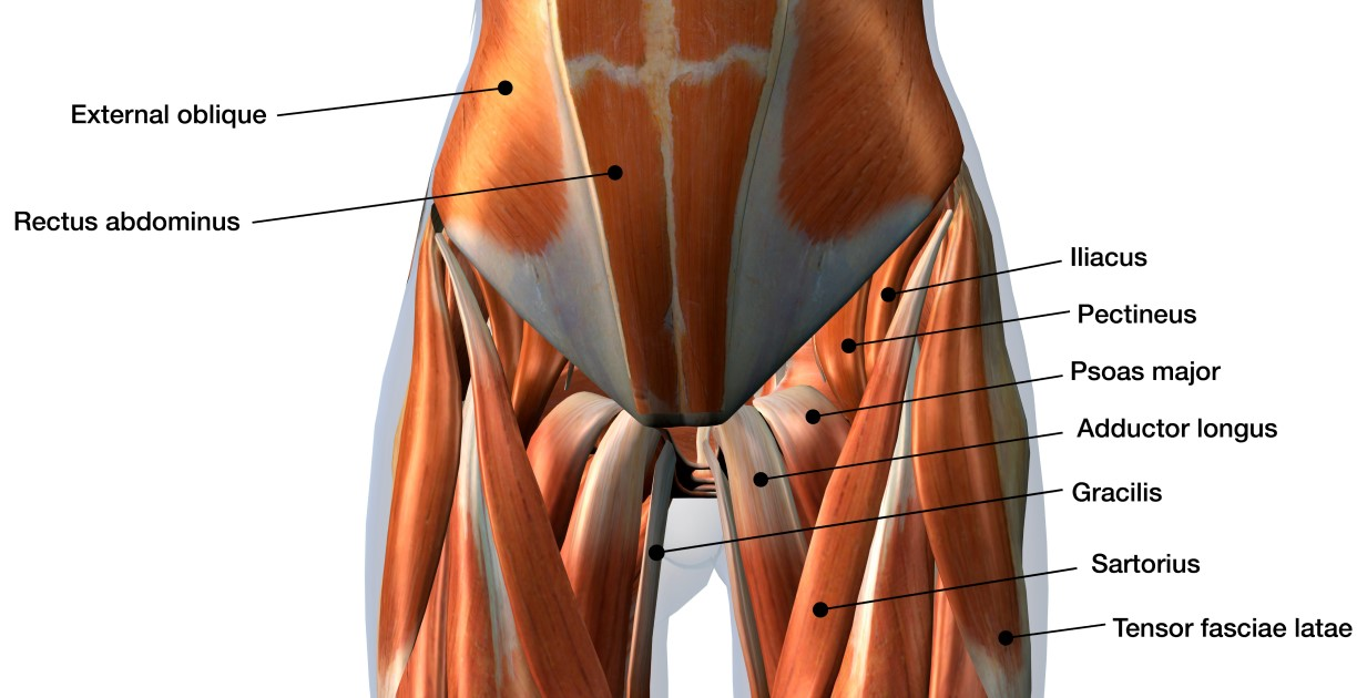 Adductor Muscle Map